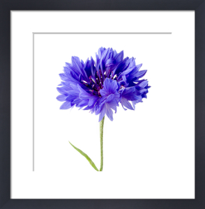 Cornflower by Deborah Schenck