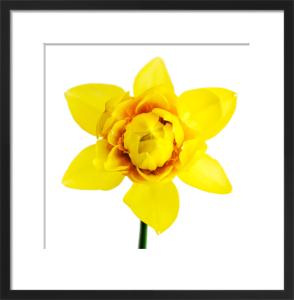 Daffodil by Deborah Schenck