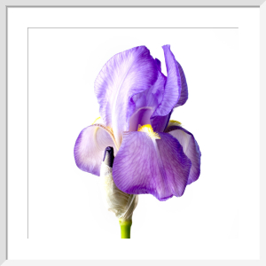 Iris by Deborah Schenck
