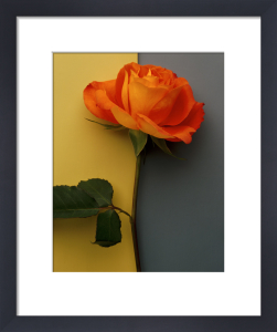 Orange Rose by Deborah Schenck