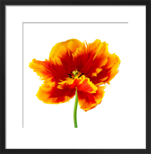 Orange Tulip by Deborah Schenck