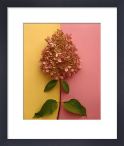 Pink Hydrangea by Deborah Schenck