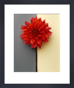 Red Dahlia by Deborah Schenck