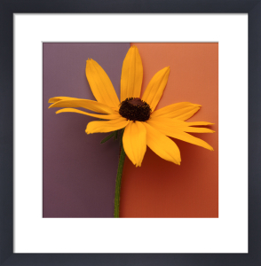 Square Blackeyed Susan by Deborah Schenck
