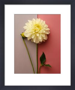 White Dahlia by Deborah Schenck