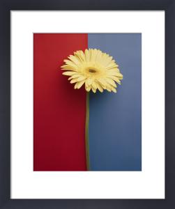Yellow Gerbera by Deborah Schenck