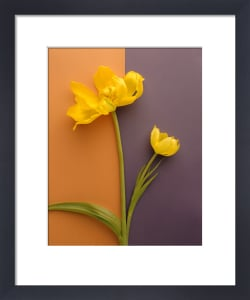 Yellow Tulip by Deborah Schenck