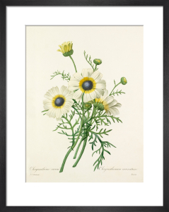 Chrysanthéme carené : Chrysanthemum carinatum by Pierre Joseph Celestin Redouté