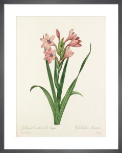 Glayeul couleur de Laque : Gladiolus Laccatus by Pierre Joseph Celestin Redouté