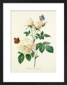 Bengale Thé hyménée by Pierre Joseph Celestin Redouté