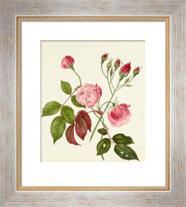 Rosa Chinensis by Caroline Maria Applebee