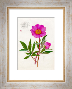 Paeonia Russii var. Reverchoni by Lillian Snelling
