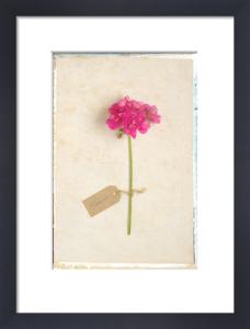 Geranium by Deborah Schenck