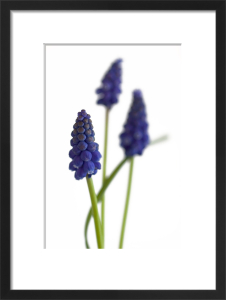 Grape Hyacinth by Deborah Schenck