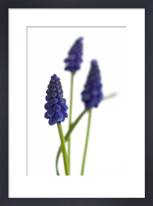 Grape Hyacinth by Deborah Schenck