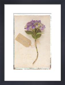 Hydrangea by Deborah Schenck