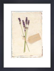 Lavender by Deborah Schenck