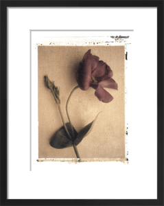 Lisianthus by Deborah Schenck
