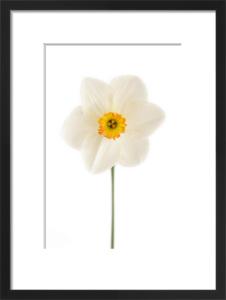 Narcissus 2 by Deborah Schenck