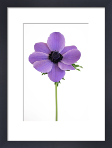 Purple Anemone by Deborah Schenck