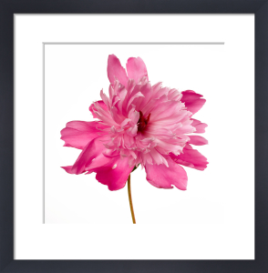 Simple Peony by Deborah Schenck