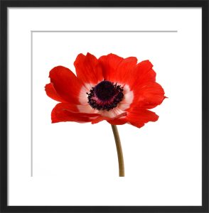 Simple Poppy by Deborah Schenck