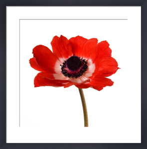 Simple Poppy by Deborah Schenck