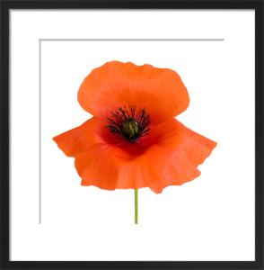 Simple Wild Poppy by Deborah Schenck