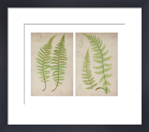 Two Ferns by Deborah Schenck