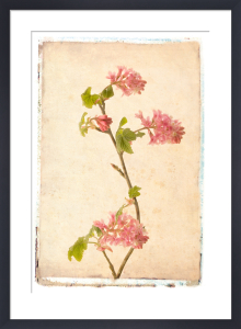 Vintage Flowering Currant by Deborah Schenck