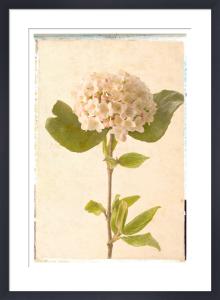 Vintage Viburnum by Deborah Schenck