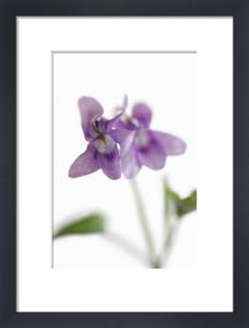Violets by Deborah Schenck