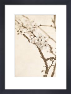 White Blossom by Deborah Schenck