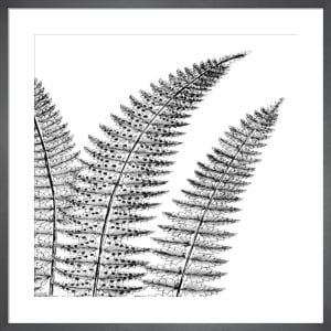 Fern II (on white) by Botanical Series