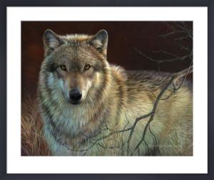 Uninterrupted Stare - Gray Wolf by Joni Johnson-Godsy