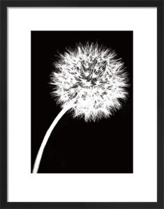 Dandelion Tilt by Jenny Kraft