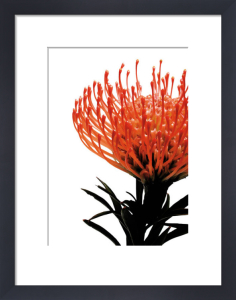 Orange Protea 1 by Jenny Kraft