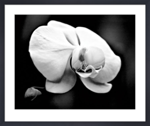 White Orchid by Harold Silverman