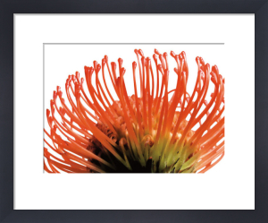 Orange Protea 2 by Jenny Kraft