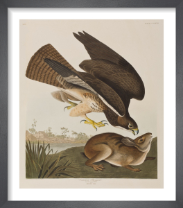 Common Buzzard by John James Audubon
