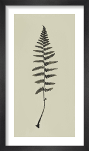 Fingles Fern by Deborah Schenck