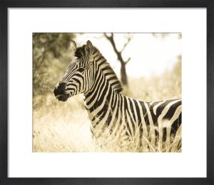 Zebra by Robert Cadloff