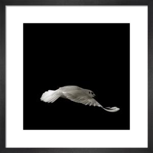 Seagull Study I by Chris Tancock