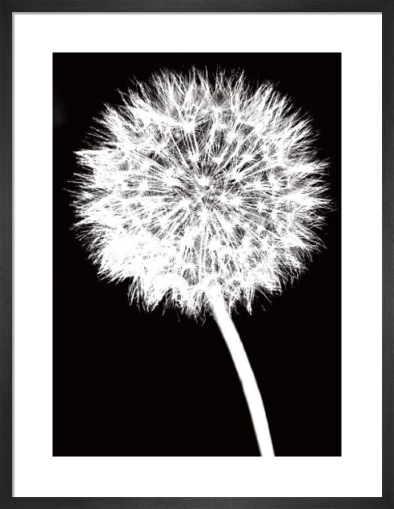 Dandelion by Jenny Kraft