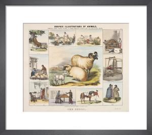 The Sheep by Benjamin Waterhouse Hawkins