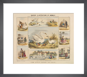 The Swan, Goose and Duck by Benjamin Waterhouse Hawkins