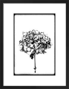 Hydrangea by Scott Dunwoodie