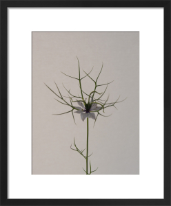 Love in a Mist by Claire Brooker