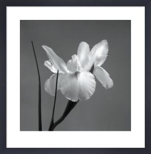 Iris I by Tom Artin
