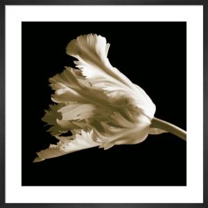 Tulip by Michael Harrison